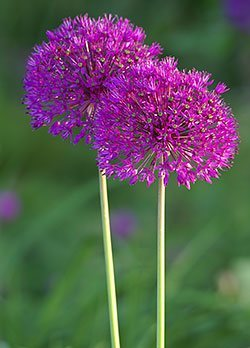 alliums ornamental onions. Black Bedroom Furniture Sets. Home Design Ideas