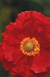 Annuals from seed - poppy