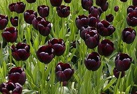 Black Tulips ...