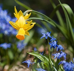 Early spring garden: bulbs