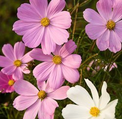 Annuals from seed - cosmos