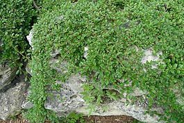 perennial ground covers -cotoneaster