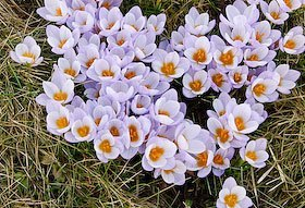 Naturalizing with bulbs