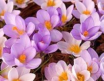 flowerbulbs - crocus