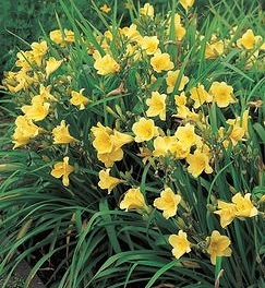 happy returns resistant to daylily rust disease