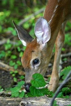 Deer resistant gardening
