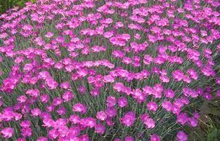 Dianthus Firewitch - 2006 perennial plant of the year