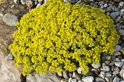 Alpines for beginners - Draba