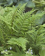 ferns in the shade garden
