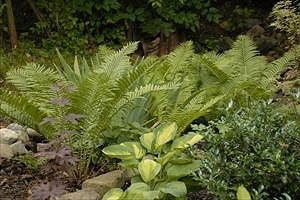 ferns in the shade garden