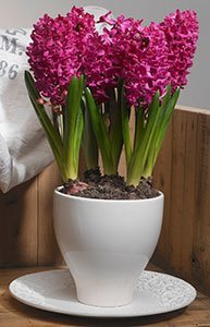 forcing hyacinths