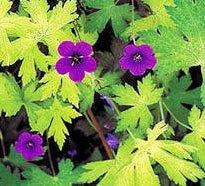 Perennial geranium cultivars