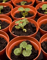 Geraniums from seed