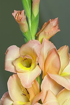 gladiola bulbs - glad flower