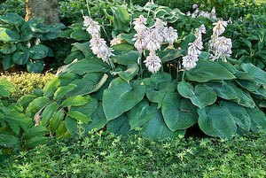 Perennial ground covers effective ways with perennial ground covers mightylinksfo