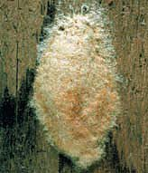gypsy moth egg mass