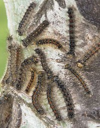 gypsy moth caterpillers