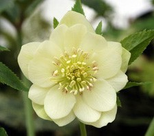 Cream colored hellebore