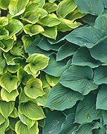 easy-care-hostas
