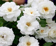 Iceberg rose - rose care