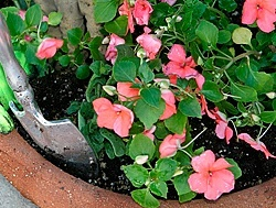 Impatiens from seed