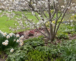 trees and shrubs -star magnolia