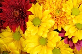 Colorful garden mums for fall garden mums flower variety mightylinksfo