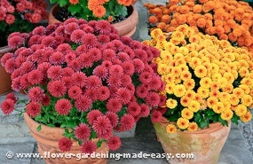 garden mums in containers