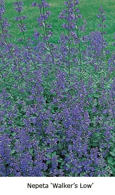 2007 perennial plant of the year - Nepeta Walkers Low