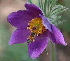 Alpines for beginners - Pasqueflower