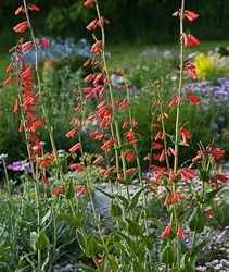 Alpines for beginners - Penstemon