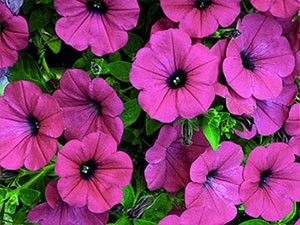 Petunias - purple wave