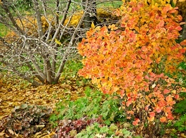 trees and shrubs - Fothergilla