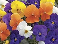 Annuals from seed -viola